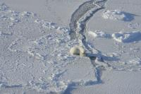 Polar Bear Waiting