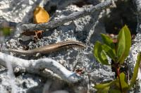 24 New Species of Lizards Discovered on Caribbean Islands are Close to Extinction (2 of 3)