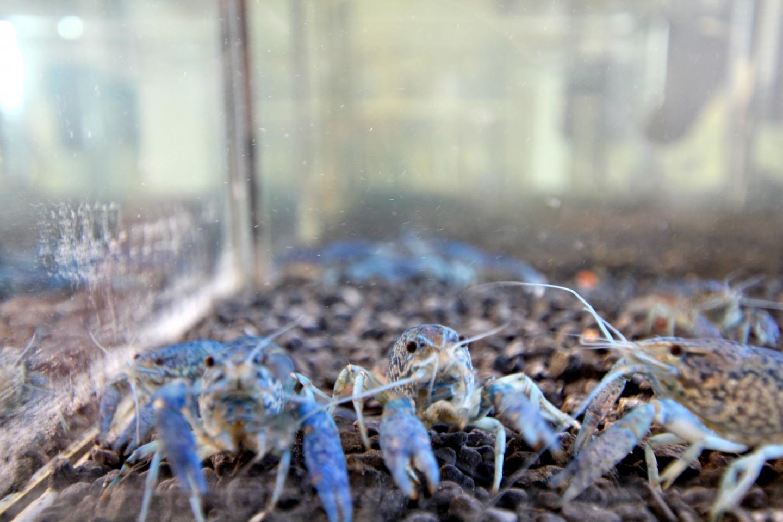 Marbeled Crayfish
