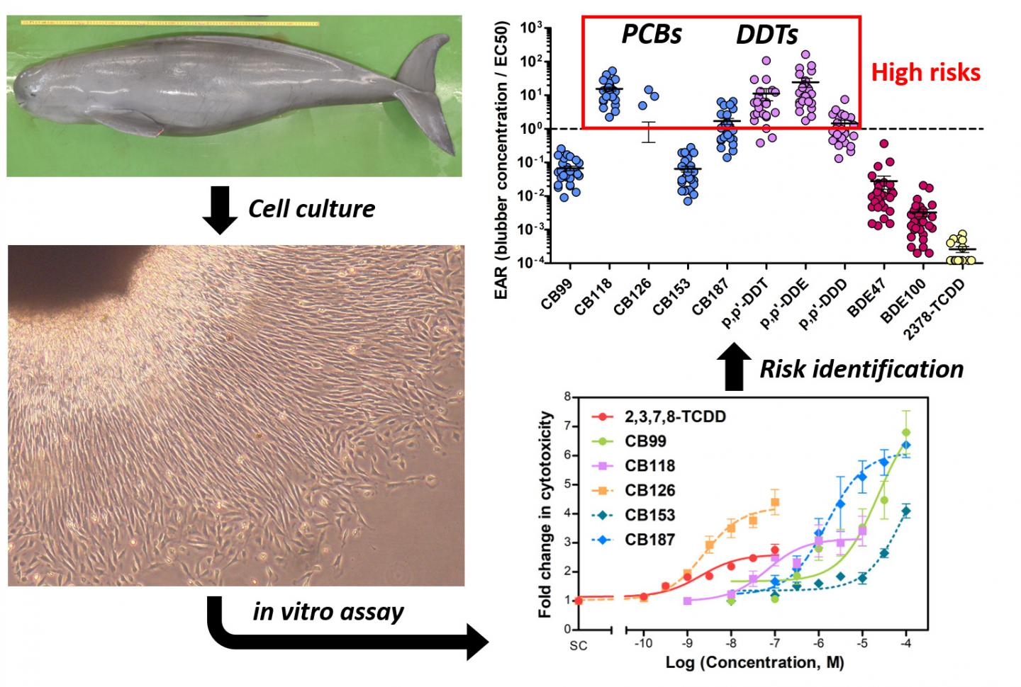 Cell Death and Risk Assessment of Finless Porpoise Fibroblasts by Exposure Pollutants