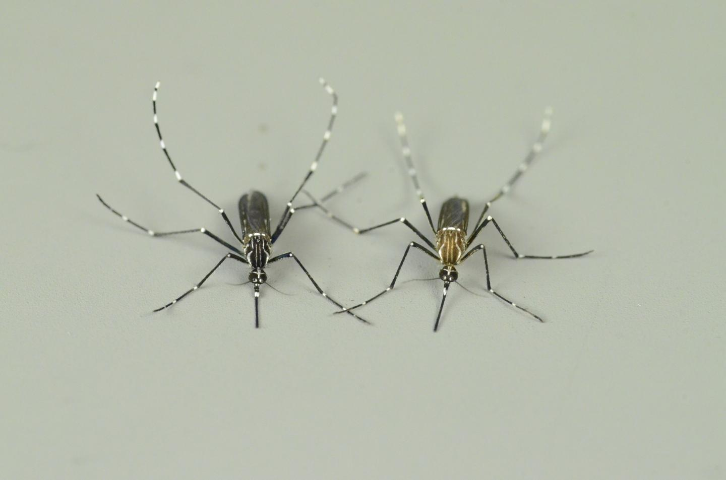 Mosquito Forms