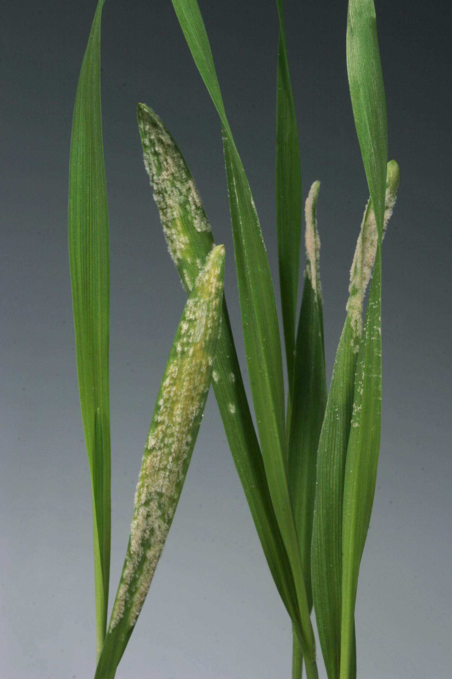 Barley Leaves Infected with Powdery Mildew