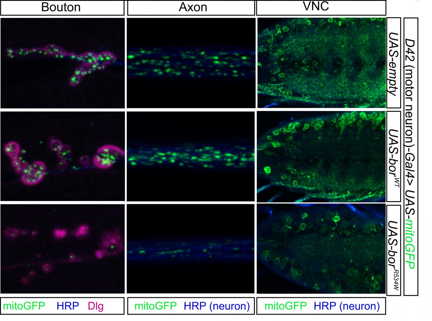 Variations in Gene ATAD3A Can Result in Less Mitochondria
