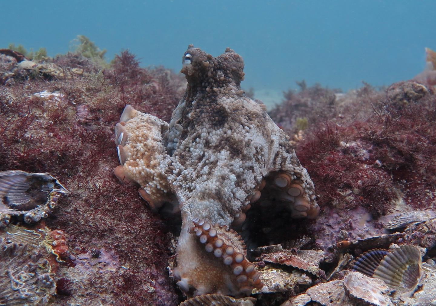 Gloomy Octopus at the Jervis Bay site