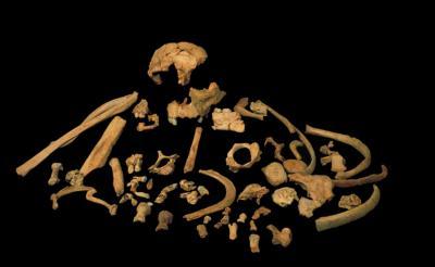 Skeletal remains of Homo antecessor