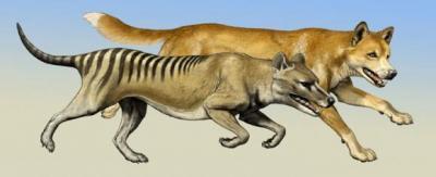 Thylacine and Dingo