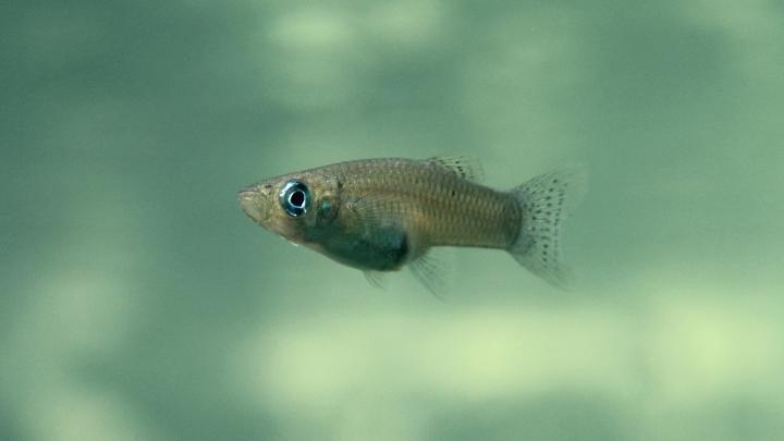 Female Mosquitofish (<em>Gambussia hubbsi</em>)