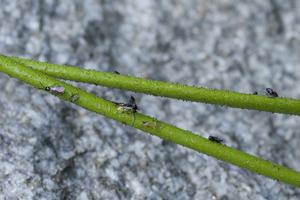 Fresh field specimens of Triantha occidentalis