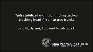Tails stabilize Landing of gliding Geckos crashing Head-First Into Tree Trunks