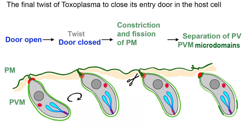 The Final Twist of <i>Toxoplasma gondii</i>