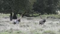 Two Male Fallow Deer in Competition