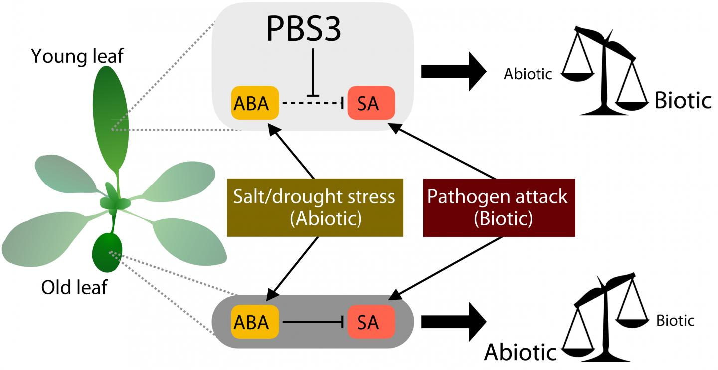 Plant Performance During Combined Stresses is Dependent on Balanced Leaf Age-Dependent Crosstalk