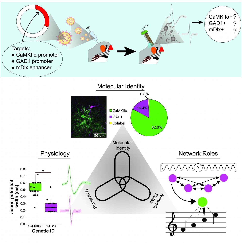 Targeting the Songbird Brain