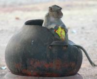 Macaque Sitting in Garbage Can