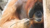 Male Ape
