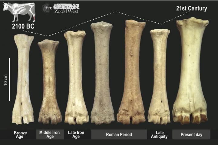 Changing livestock in ancient Europe reflect political shifts