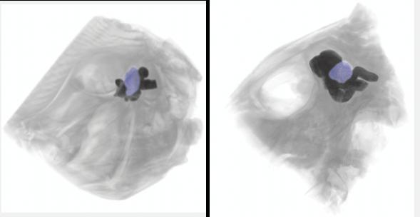 MicroCT imaging of the optic tecta (in blue) within the brain (dark) of a Peacock Flounder