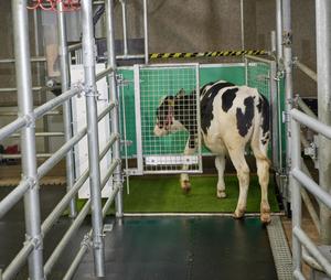 Calf in a latrine