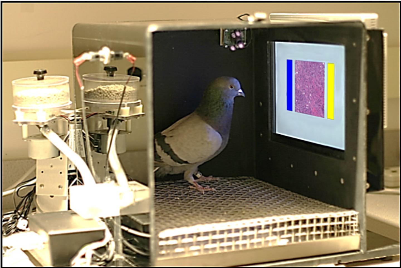 Pigeons Learning Pathology and Radiology