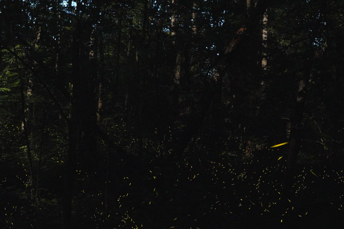 Synchronous Fireflies 1