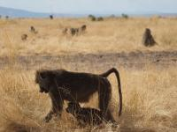 A dominant female baboon