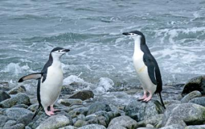 Photo of 2 Chinstrap Penguins