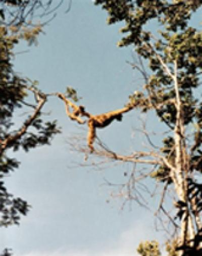Global Warming Cycles Threaten Endangered Primate Species (3 of 3)