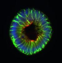 Normal Gut Metabolite Impairs Intestinal Stem Cell Proliferation