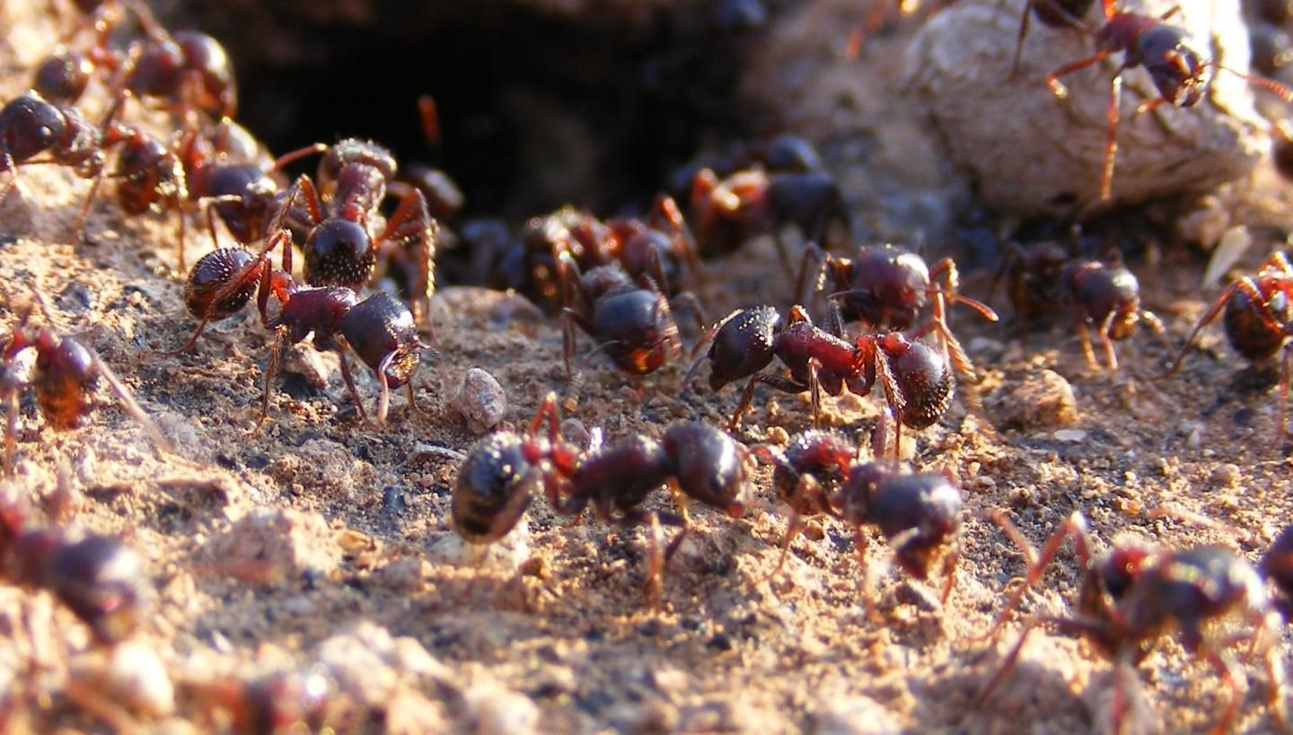 Workers of the Rough Harvester Ant