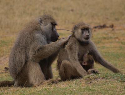 Social Bonds of the Baboon Kind