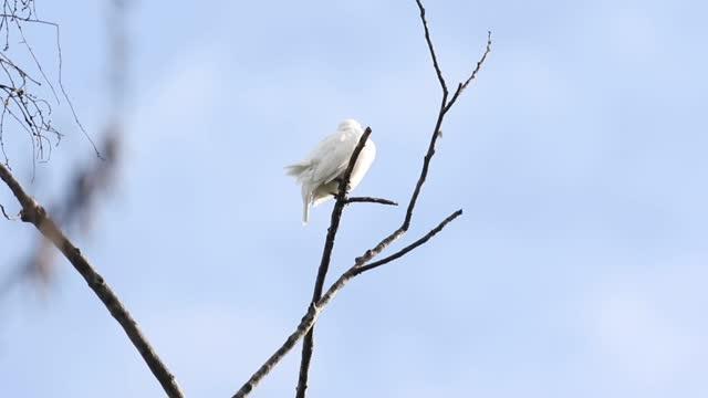 Screaming Male White Bellbird