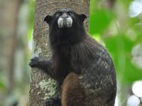 Black-Fronted Tamarin