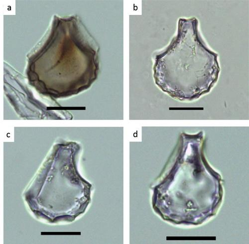 Rice Bulliform Phytoliths