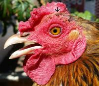 Chicken with Fleas