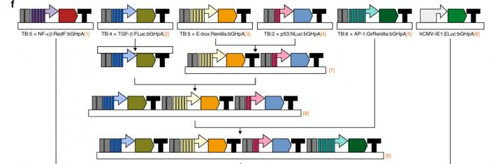 Assembly of Multiple Luciferase Reporters