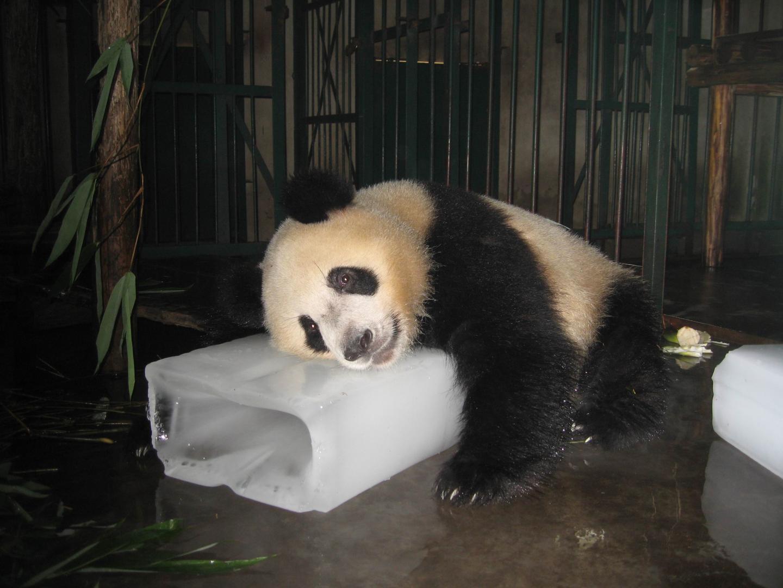 Giant Panda Cools Off