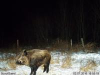 A Mature Adult Wild Pig in Saskatchewan, Canada