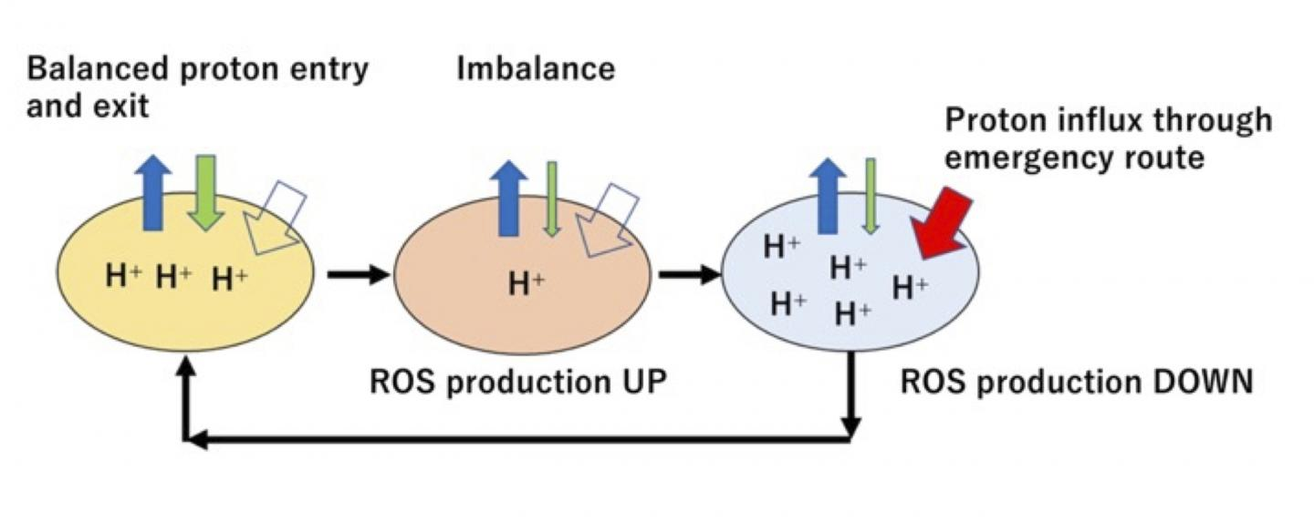 Influx and efflux of protons to mitochondria and generation of reactive oxygen species (ROS)