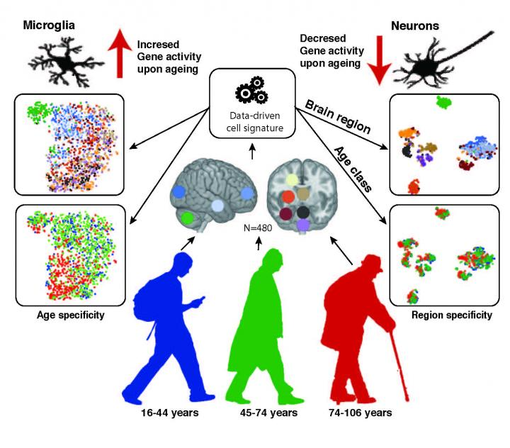 Neurons and Glia with Age