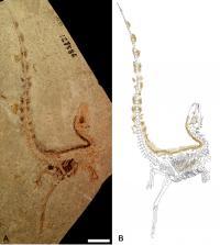 The Best-Preserved Fossil Specimen of <i>Sinosauropteryx</i>