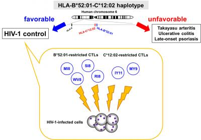HLA-B*52:01-C*12:02 aplotype: Protective for AIDS Progression and Susceptive to Autoimmune Diseases