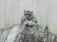Snow leopard at Kobe Oji Zoo. Credit Kodzue Kinoshita