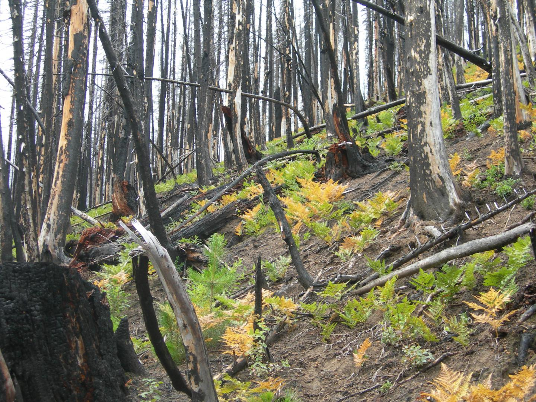Ferns After a Forest Fire