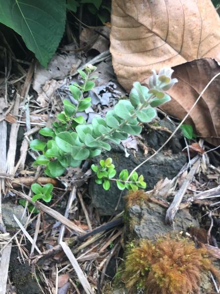 'Ohi'a (Metrosideros polymorpha) Seedling