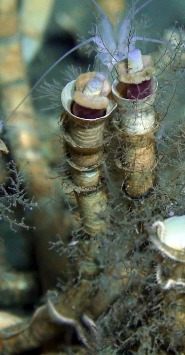 Tubeworms' tube is a unique supporting structure for them to acquire inorganic matter from the seabed, before transferring to their co-living bacteria for producing organic nutrients.