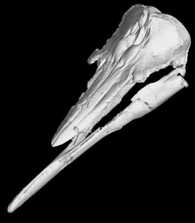 Skull and Jaws of Skimmer Porpoise