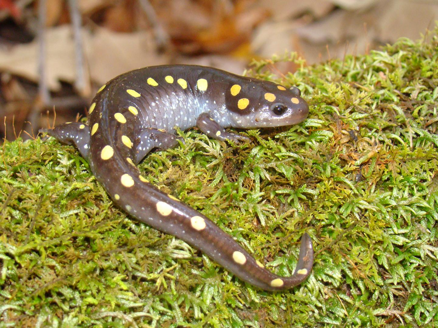 The Spotted Salamander or Yellow Spotted Salamander