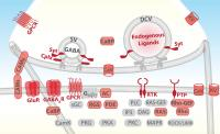 Neurons Are Defined by the Machinery that Enables Them to Communicate