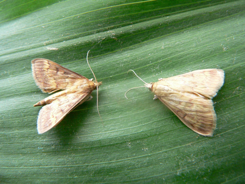 <i>Ostrinia nubilalis</i> Male and Female
