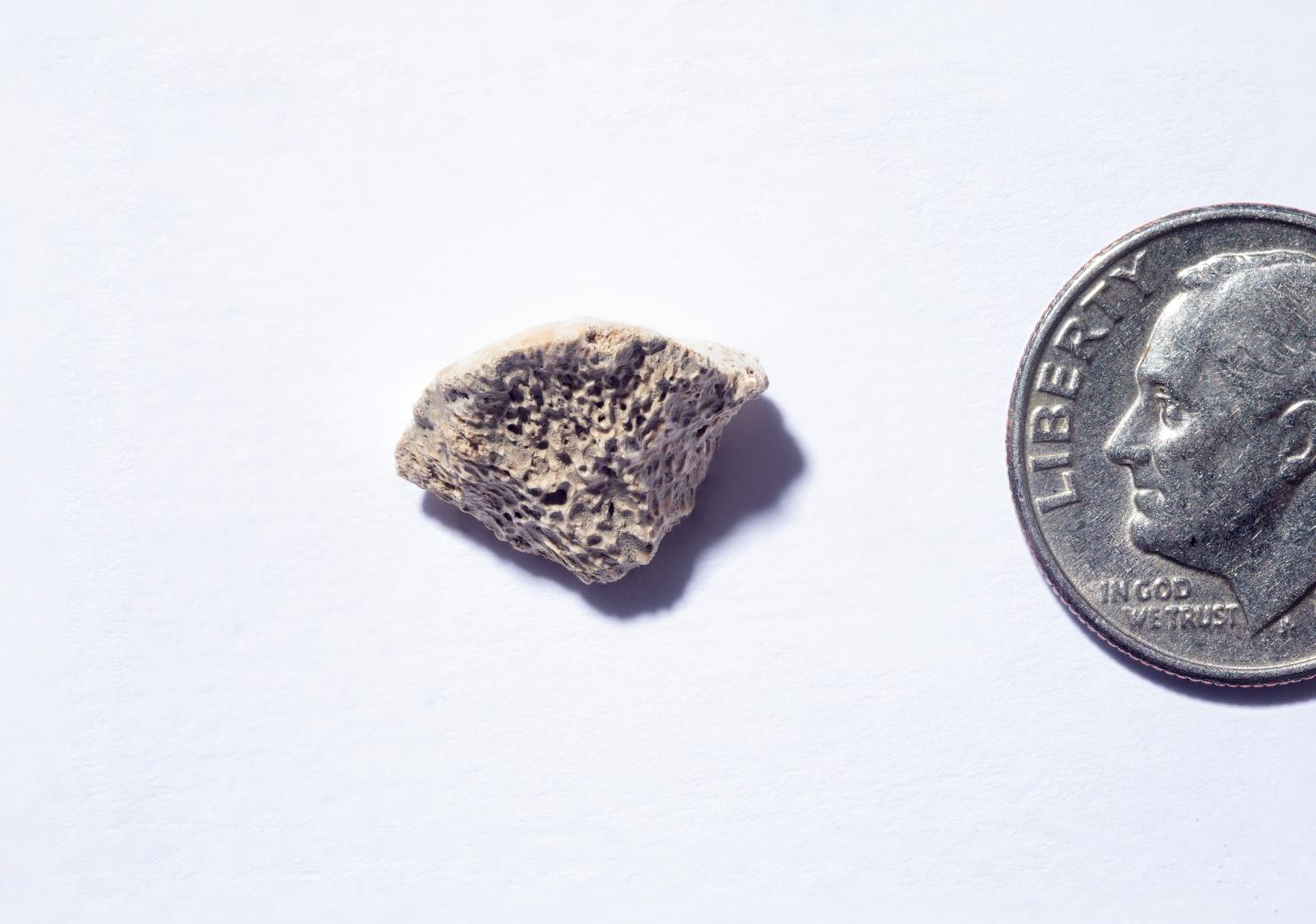 Ancient dog bone (shown with coin for interpreting size)